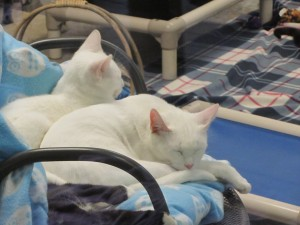 Cats do what cats do best, doze, on bedding procured by LifeLine for the Fulton County Animal Shelter. Credit: LifeLine