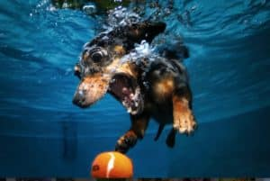 The determined look in the eyes shows shows the fate of the ball is all but certain. Credit: thedogfiles.com