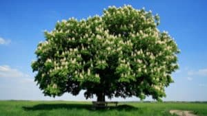 Georgia's stands of American chestnut trees have been beseiged by a fungal infection that cause their death. Credit: thetutuguru.com.au
