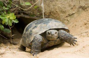 gopher tortoise, 3