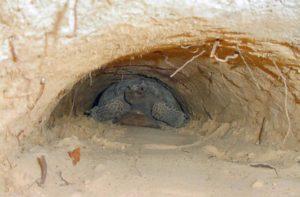 gopher turtle, 2