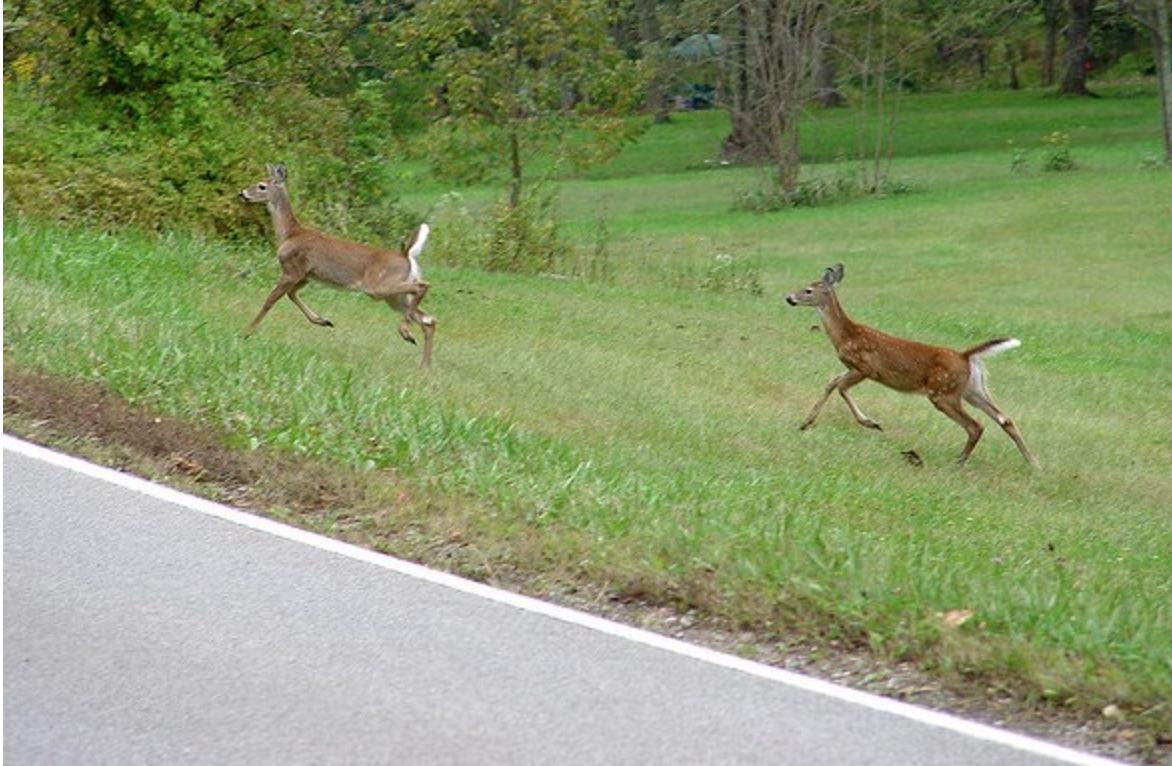 deer beside road