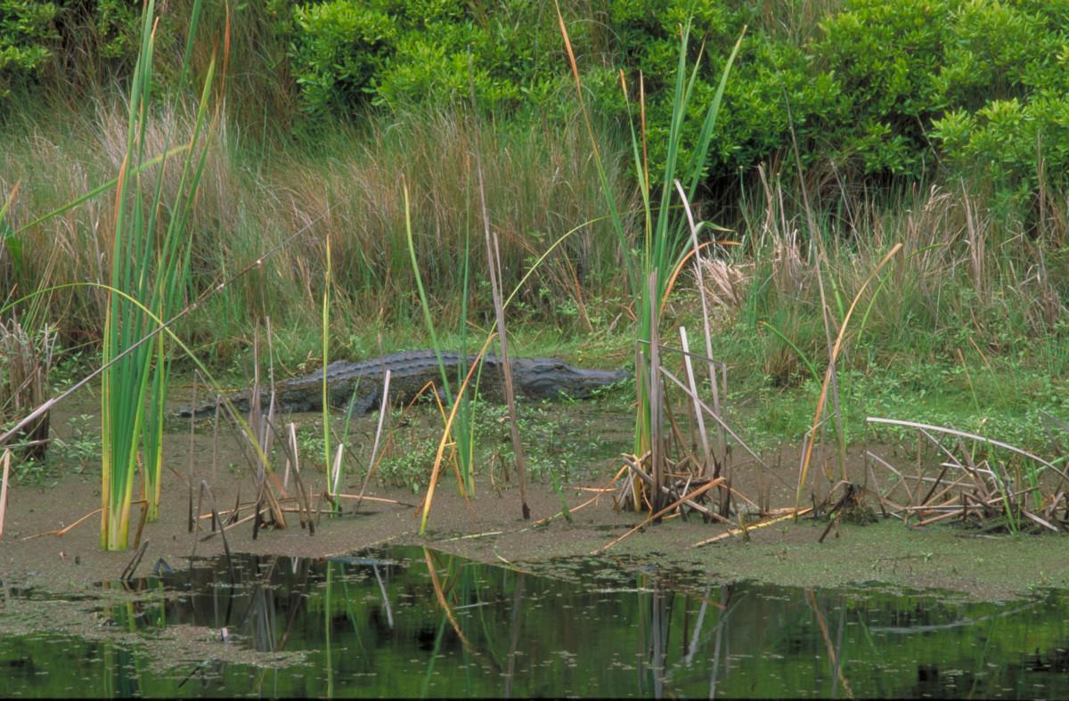Alligator Cumberland Island