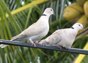 Eurasian Collared-Dove, audubon
