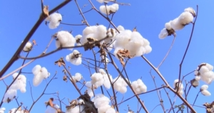 cotton on stalk