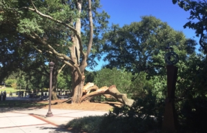 Georgia Tech, tree down, big al