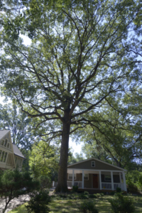 100+ year old tree on Arbor Ave not protected from new construction, Kolb