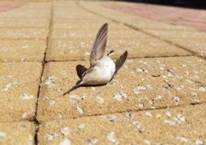 bird building collision, ruby throated hummingbird