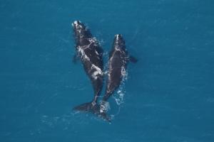 An adult right whale and a juvenile off Georgia's coast (Sea to Shore Alliance_NOAA permit 20556)