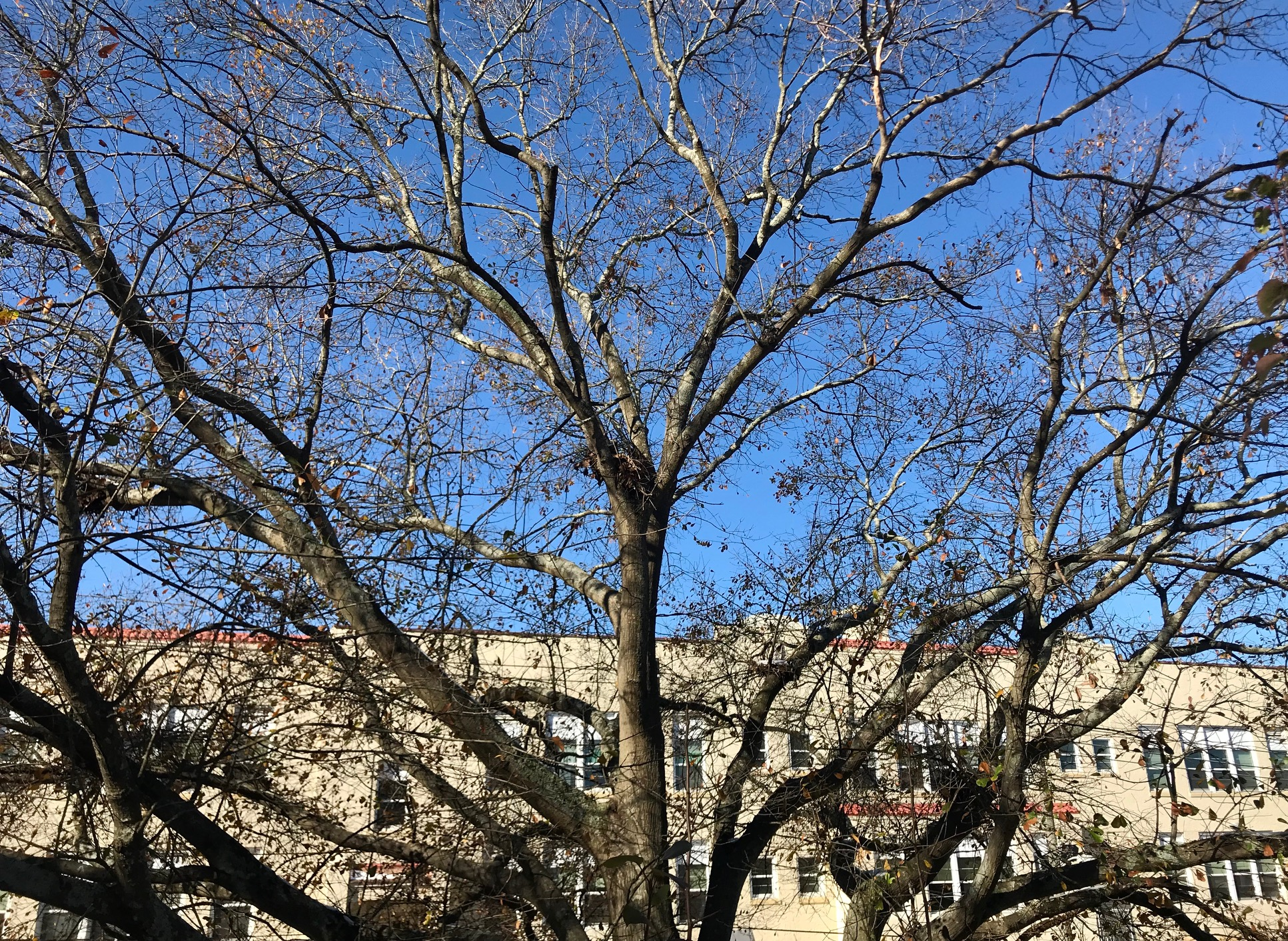 tree, candler park drive, mary lin elementary