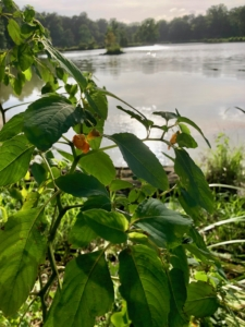 Pine Lake with native jewelweed in foreground