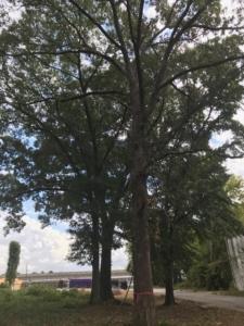 Turner Street, tree