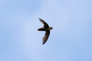 Chimney Swift by Shawn Taylor