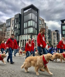 People walking golden retrievers in a parade