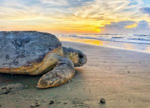 Dawn-nesting loggerhead on Ossabaw Island by Caleigh Quick, DNR