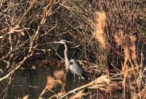 beaver dam, blue heron, candler park