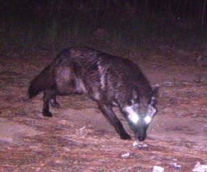 A black coyote in Georgia
