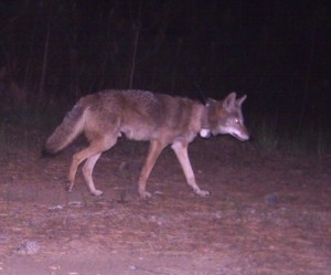 A coyote with a radio collar is tracked by researchers from Berry College in north Georgia.