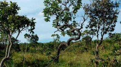 Vegetação nativa de Cerrado em Mato Grosso. Foto: Shuttestock.