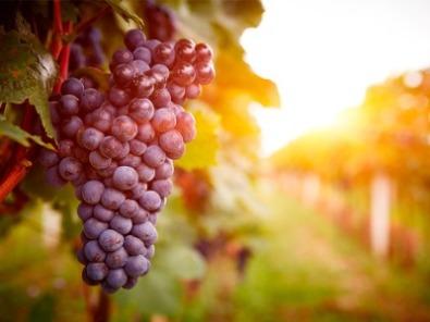 Produção de uva. Foto: Shutterstock.