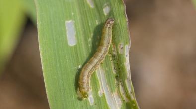 Lagarta-do-cartucho em milho. Crédito da foto: Shutterstock.