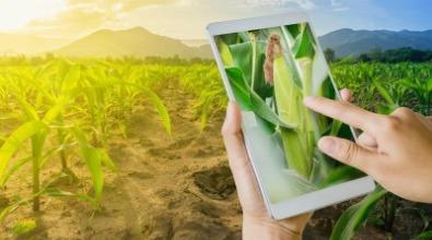 Plantação de milho. Crédito da foto: Shutterstock.