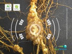 Diagnóstico de Nematoide - Agro Amazônia