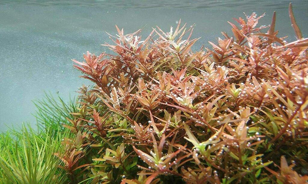 Rotala rotundifolia in planted tank — The Complete Care Guide to Rotala Rotundifolia