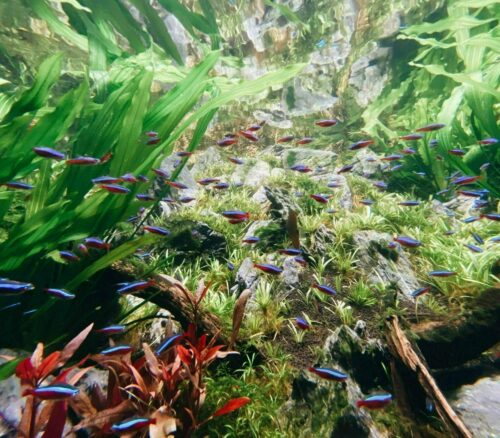 Healthy planted tank 2021 05 31 040840