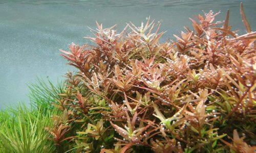 Rotala rotundifolia in planted tank