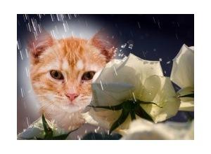 Roses-in-the-Rain