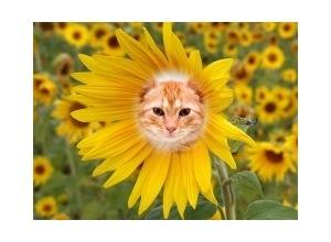 Sunflower-3