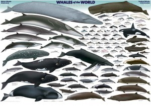 Whale-Species-Chart-copy