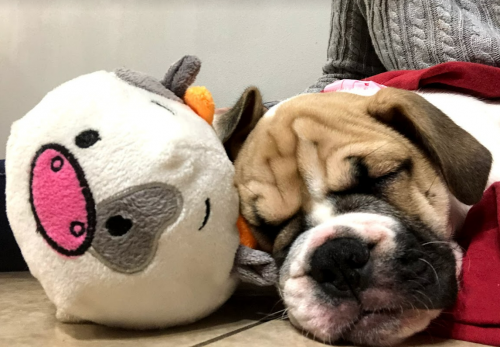 Puppy and Stuffed Animal Friendship Picture