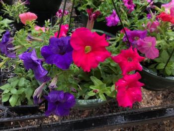 Petunias growing in the greenhouse