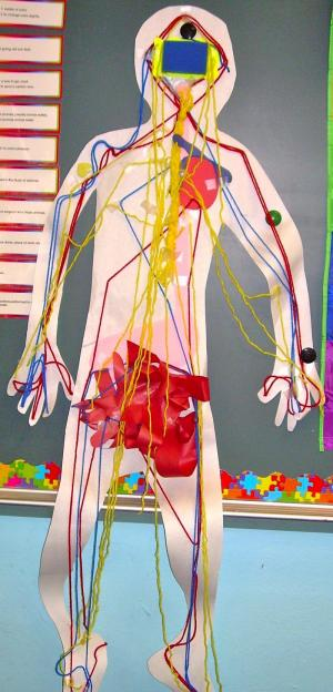 This is our person.  We have put the digestive system, circulatory system, and the nervous system into him.