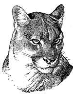 Charcoal Drawing of a Cougar