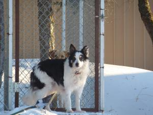 In Memory of.....Bo, one of the smartest Border Collies in Kansas