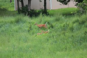 Cutest photo ever!  A doe and her twins near our home.