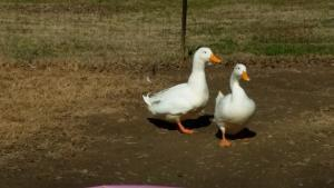 A few of Mrs. Colvn's pet ducks.