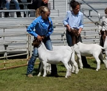 Lilly showing Goat
