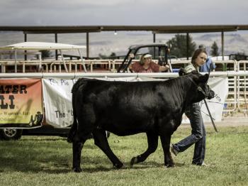 megan showing market steer