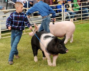 Phillip showing Market Swine