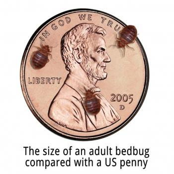 Bed bugs on a penny