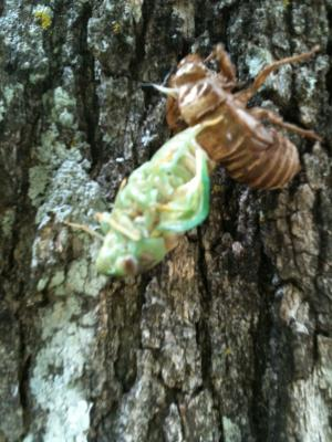 I caught this cicada molting in my backyard.