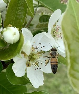 Check out the full pollen baskets on this bee. The bee is on a pear blossom.