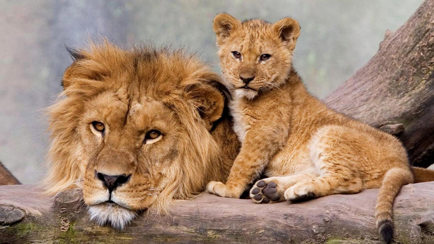 A male lion and a cub