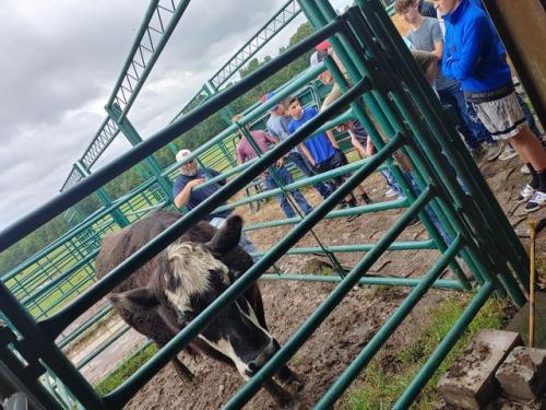 Cow in pen.