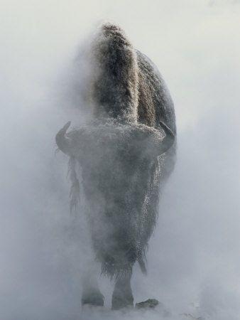 Steaming Buffalo