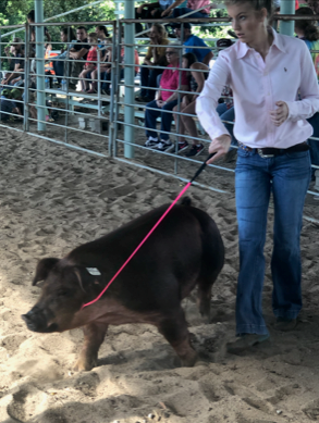 Pig Show at County Fair